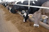 Dairy and meat farm construction feasibility study