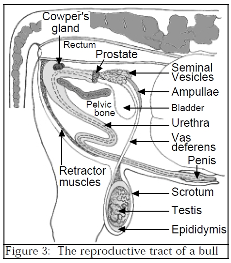 Female Giraffe Reproductive System Diagram Labeled - Wiring Circuit •